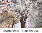 blooming cherry tree. spring...   Shutterstock . vector #1285529956
