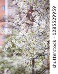 blooming cherry tree. spring...   Shutterstock . vector #1285529959