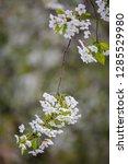 blooming cherry tree. spring...   Shutterstock . vector #1285529980