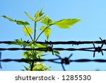 Leaf And Old Barbed Wire