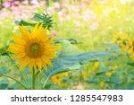 beautiful of sunflower blooming ... | Shutterstock . vector #1285547983