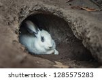 Stock photo white rabbit in soil hole 1285575283