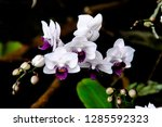 orchidseveral colors ...   Shutterstock . vector #1285592323