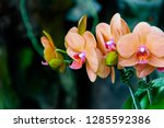 orchidseveral colors ...   Shutterstock . vector #1285592386
