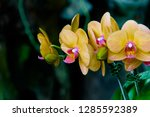 orchidseveral colors ...   Shutterstock . vector #1285592389