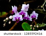 orchidseveral colors ...   Shutterstock . vector #1285592416