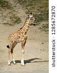 rothschild's giraffe  giraffa... | Shutterstock . vector #1285672870