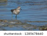 sandpiper wading the tidal... | Shutterstock . vector #1285678660