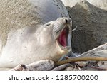 female elephant seal pregnant... | Shutterstock . vector #1285700200