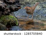 lanceolated warbler in nature | Shutterstock . vector #1285705840