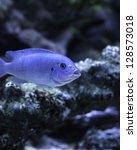 Cobalt Blue Zebra African...