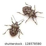 Rough Stink Bugs  Brochymena...