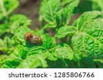 colorado beetles breed on the...   Shutterstock . vector #1285806766