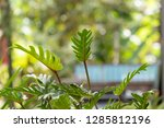 philodendron beautiful shape... | Shutterstock . vector #1285812196