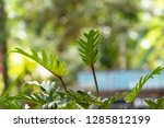 philodendron beautiful shape... | Shutterstock . vector #1285812199