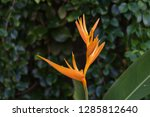 exotic yellow heliconia... | Shutterstock . vector #1285812640