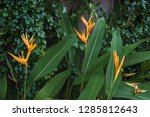 exotic yellow heliconia... | Shutterstock . vector #1285812643