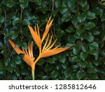 exotic yellow heliconia... | Shutterstock . vector #1285812646