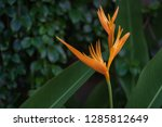 exotic yellow heliconia... | Shutterstock . vector #1285812649