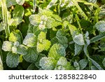 wild peppermint covered with... | Shutterstock . vector #1285822840