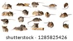 big mice collection   mice... | Shutterstock . vector #1285825426