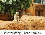 suricata suricatta meerkat ...   Shutterstock . vector #1285850269