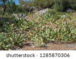 cactus meadow wild garden...   Shutterstock . vector #1285870306