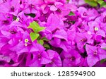 Purple Bougainvillea Flower