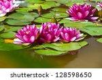 Pink Lotus Flowers In Bloom