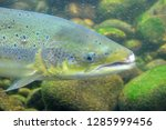 the atlantic salmon  salmo... | Shutterstock . vector #1285999456