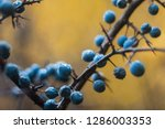 Colorful Berries Of Thorns In...