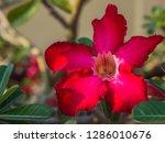 red desert rose or impala lily...   Shutterstock . vector #1286010676