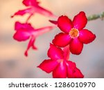 red desert rose or impala lily...   Shutterstock . vector #1286010970