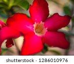 red desert rose or impala lily...   Shutterstock . vector #1286010976