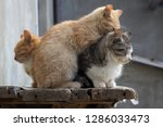 Stock photo two small kittens one gray and the other light orange sit on the old wooden table the red kitten 1286033473