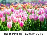 colorful of tulip flowers and... | Shutterstock . vector #1286049343