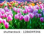 colorful of tulip flowers and... | Shutterstock . vector #1286049346