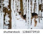 Female Fallow Deer Dama Dama In ...
