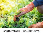 hand pulling the weeds out in a ... | Shutterstock . vector #1286098096