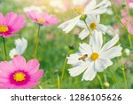 bee and cosmos colorful flower... | Shutterstock . vector #1286105626