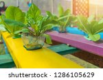 organic hydroponic vegetable in ... | Shutterstock . vector #1286105629