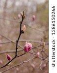 amazing magnolia flowers in the ...   Shutterstock . vector #1286150266