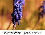 blue muscari flowers close up...   Shutterstock . vector #1286204923