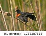 Male  Red Winged Blackbird ...