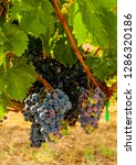 Usa, Washington State, Mattawa. Cabernet Franc block of Weinbau Vineyard, a part of Sagemoor Vineyards.