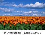 orange tulips in field skagit... | Shutterstock . vector #1286322439