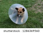 sick and injured dog wearing an ... | Shutterstock . vector #1286369560