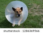 sick and injured dog wearing an ... | Shutterstock . vector #1286369566