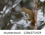 american red squirrel ... | Shutterstock . vector #1286371429