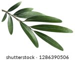 olive branch  isolated on white ... | Shutterstock . vector #1286390506